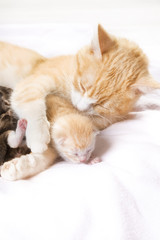 Photo sur Aluminium Chat red cat with kittens