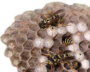 hornet's nest with wasps