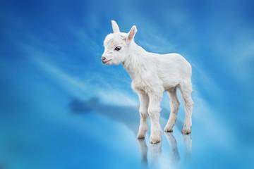 goatling on blue background