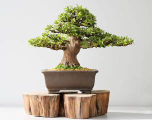 Aluminium Prints Bonsai Summer bonsai azalea tree
