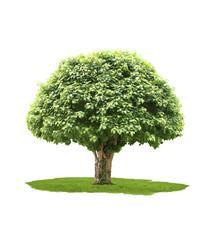 big tree, isolated on white background
