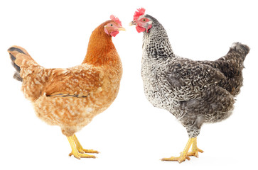 Two hens