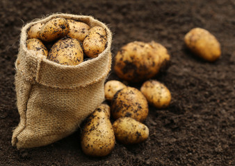 Newly harvested potatoes
