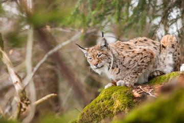 Aluminium Prints Lynx portrait lynx