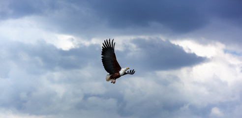 Bald eagle in the sky, eagle, flying, blue, sky, nature