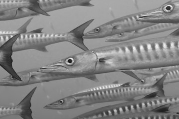 Inside a school of barracuda in black and white