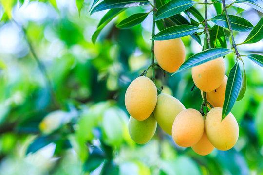 Mayongchid, Maprang, Marian Plum or Plum Mango