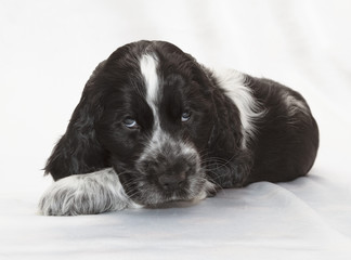 Fotobehang - English Cocker Spaniel Puppy