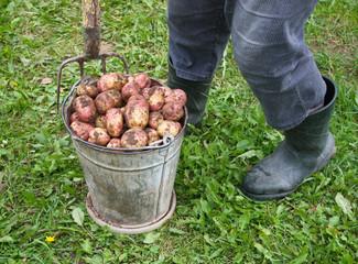 Fresh raw potatoes in old bucket