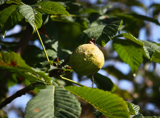 Chestnut on the tree branch