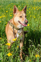 Brown dog in a meadow of flowers