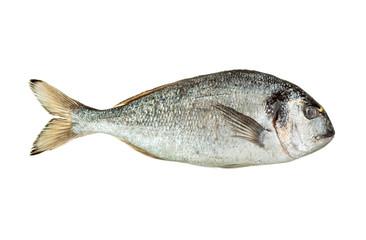 Dorado fish isolated
