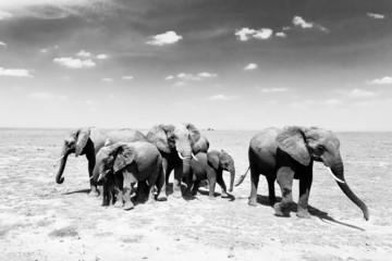 Photo sur Aluminium Bestsellers Loxodonta africana, African bush elephant.