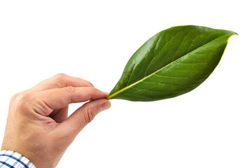 Man hand holding a green magnolia leaf isolated on white