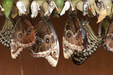 pupa with butterflies hanging in cascet