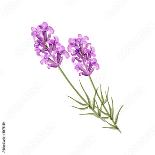 quotlavender herb flower vector illustrationquot stock image