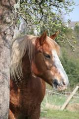 Portrait Pferd neben Apfelbaum