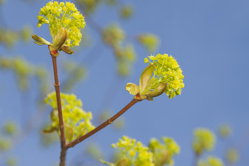 Elm blossom in early springtime