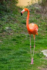 American or Caribbean Flamingo portrait