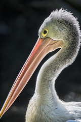 Portrait of Australian Pelican