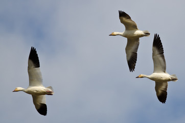 Three Snow Geese Flying in a Cloudy Sky