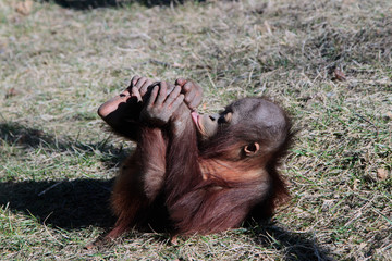Two Year Old Orangutan Rolling On The Ground
