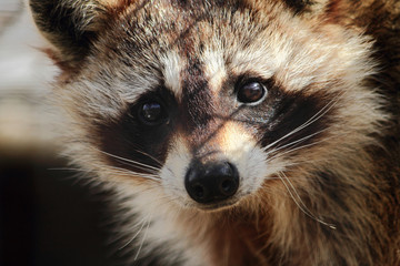 Sad Looking Raccoon Close-Up