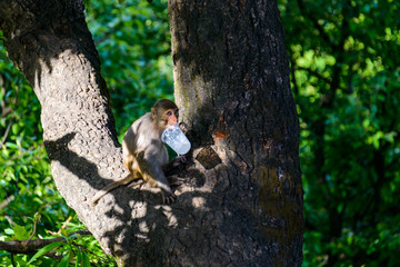Macaque licking a plastic cup