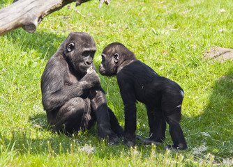 Two young gorillas
