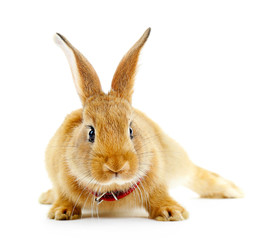 Red rabbit isolated on white
