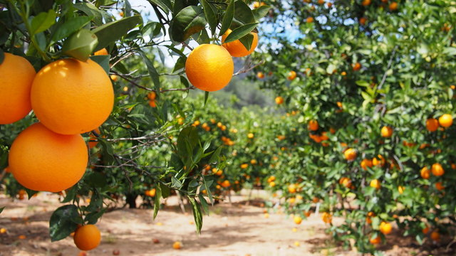 Bloomy orange garden in Valencia
