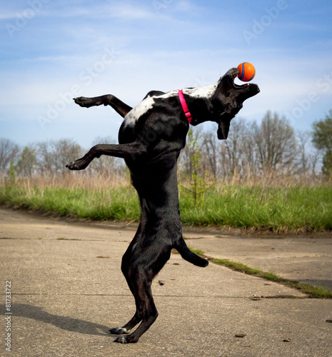 Black dog upright with orange ball in mouth