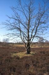 Baum auf der Heide-Wittmoor-Hamburg