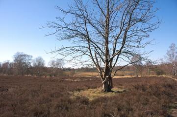 Baum auf der Heide-II-Wittmoor-Hamburg