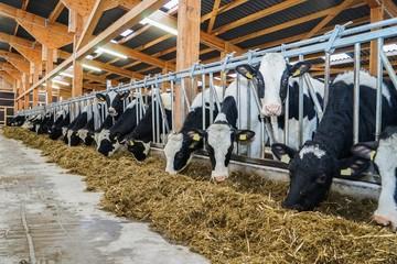 Moderner Rindviehstall, Holstein-Friesian Rinder beim fressen