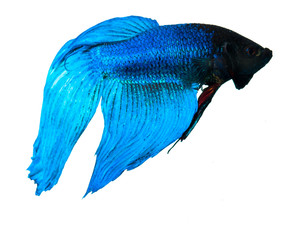 betta, siamese fighting fish isolated on white background
