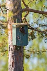 Starling at neasting box