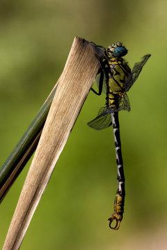 dragonfly anax imperator on a  leaf
