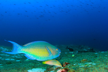 Parrotfish on coral reef