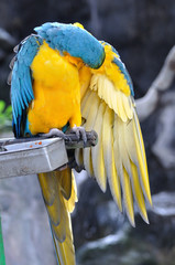 Poster Close up beautiful macaw bird cleaning wings