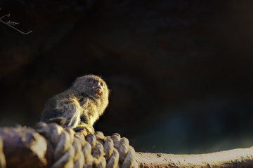 Marmoset monkey portrait in zoo indoor