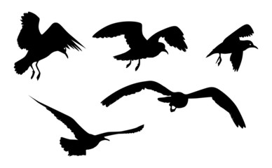 seagull 7
