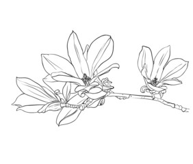 Hand drawn magnolia flowers.