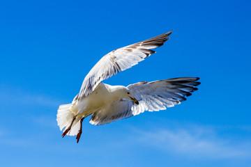 United Kingdom, Devon Seagull soaring in the blue sky