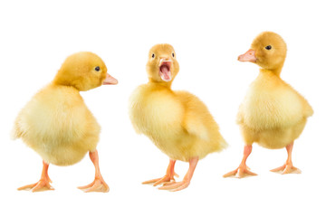 Three yellow ducklings