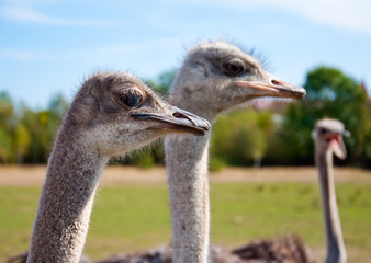 Ostriches turned their heads to one side