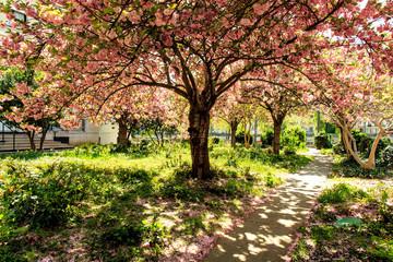 Papiers peints Fleur de cerisier Fleur de cerisier au beau printemps