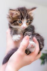 Cute kitten with blue eyes