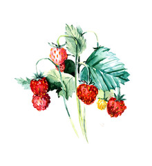 Branch wild strawberry. Forest miniatures. Watercolor