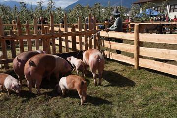 maialino maiali fattoria allevamento